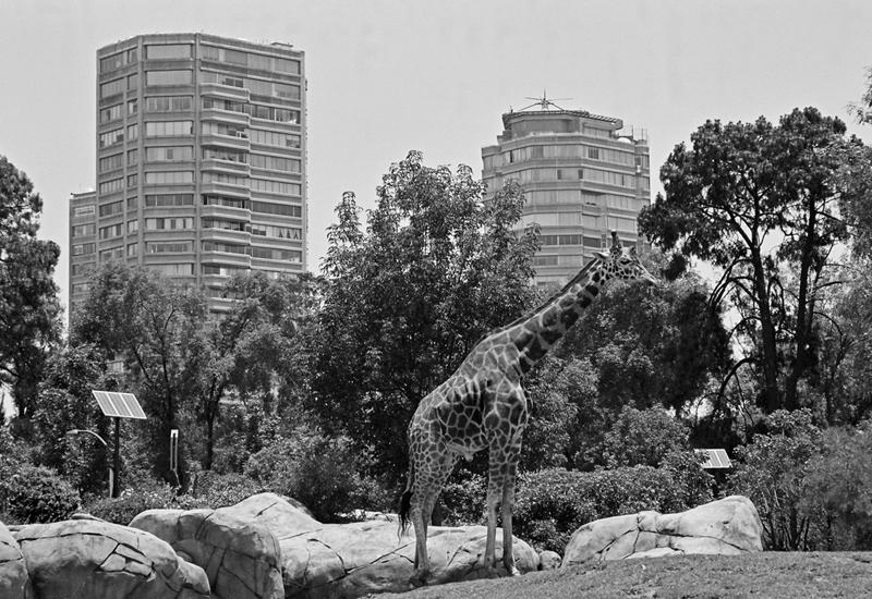 Zoo_Giraffe_